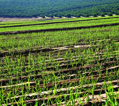 sugar cane for ethanol
